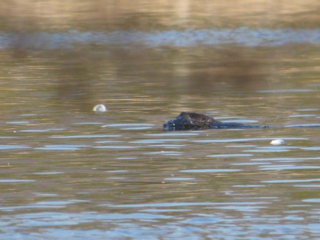 Otter! That's what is scaring the swans