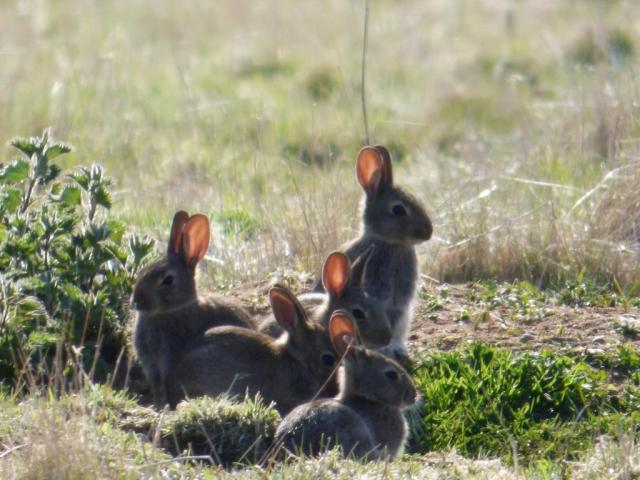 Baby bunnies with backlit ears