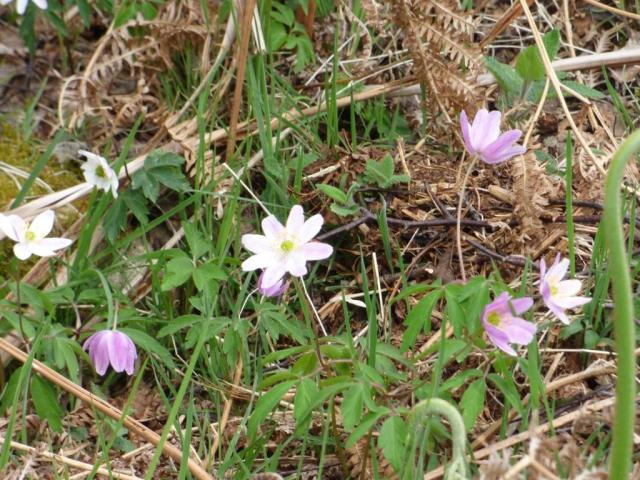 Some wood anemones have a quite strong pink or purple tint