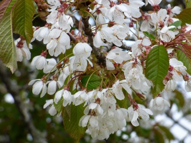 Gean blossom
