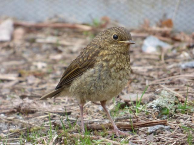 Newly-fledged baby robin