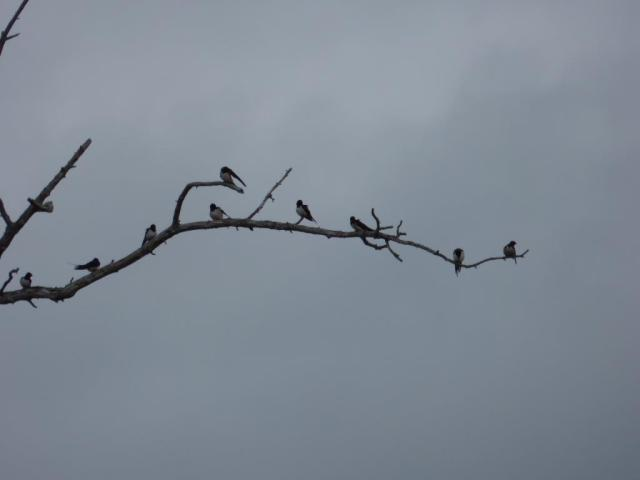 Swallows having a rest and preening on a dead tree