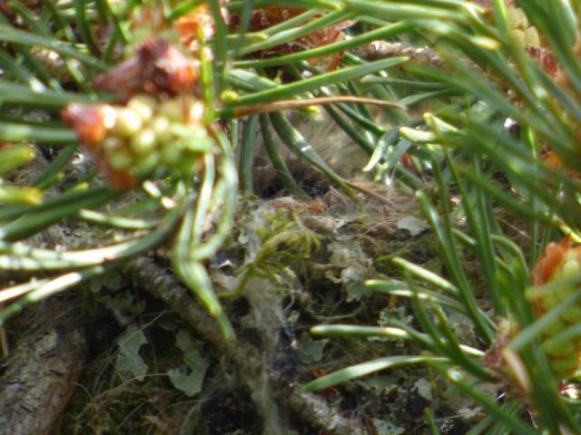 A well hidden chaffinch nest