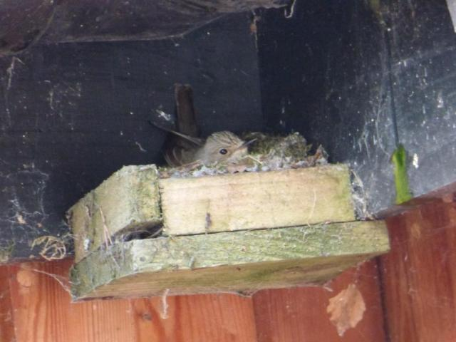 The spotted flycatcher has decided to try nesting above the back door!