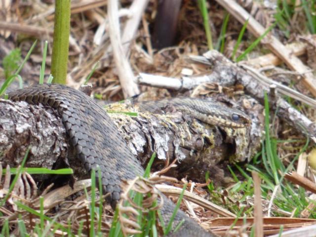 Female adder, flattened for basking