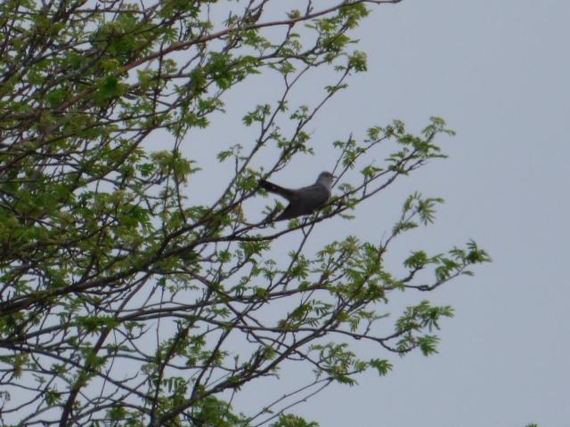 Cuckoo near Old Kinord
