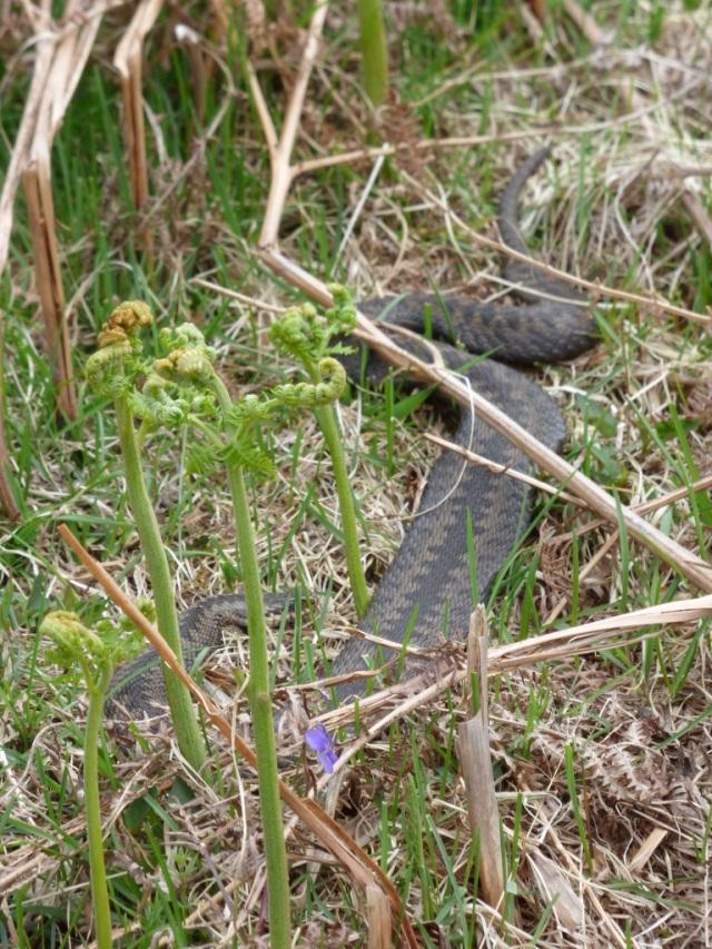 Basking adder- very flat!