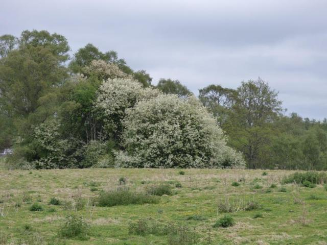 A magnificent bird cherry tree