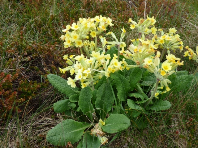 Cowslips- or false oxlips- I need to check the book!