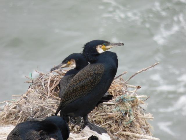 Cormorants. Gloriously prehistoric looking birds