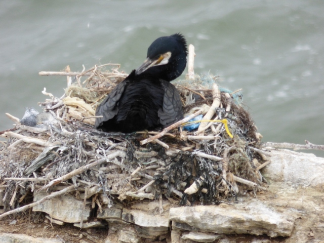 Cormorant on nest. Note all the plastic in it- marine litter is a big problem as birds and animals can get tangled- or eat it.