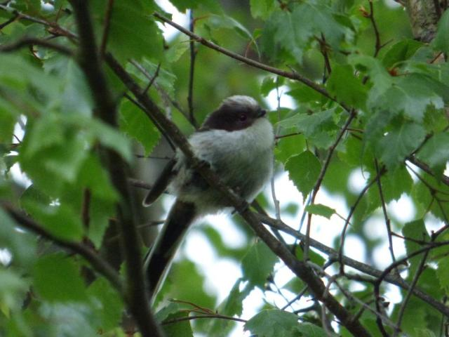 Newly-fledged long tailed tit