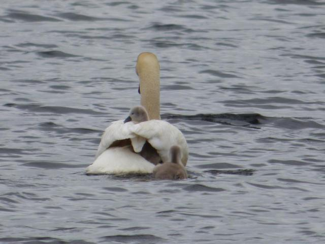 Hitching a lift- young waterfowl will often ride on their parents backs