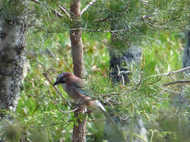 Jay feeding low in the trees