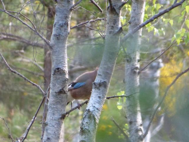 The usual part view of a jay
