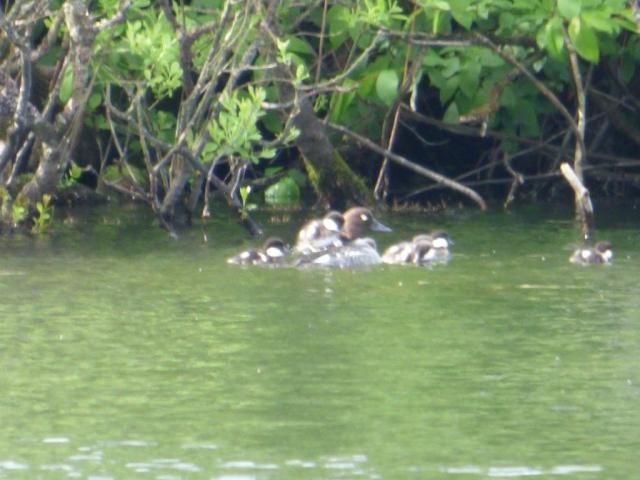on board. some of the ducklings were determined to climb onto mum