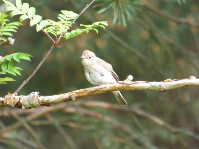 Spotted flycatcher poised to flycatch