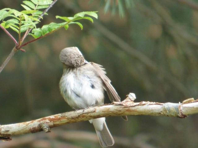 Spotted flycatcher having a good preen