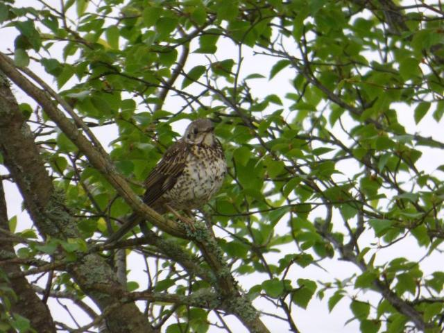 Young mistle thrush