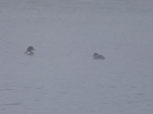 Goldeneye with a large duckling-in the mist