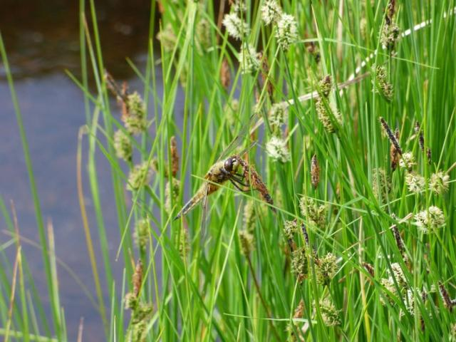 Four-spotted chaser on black sedge