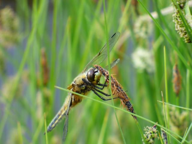 Four spotted chaser...only a brief stop!