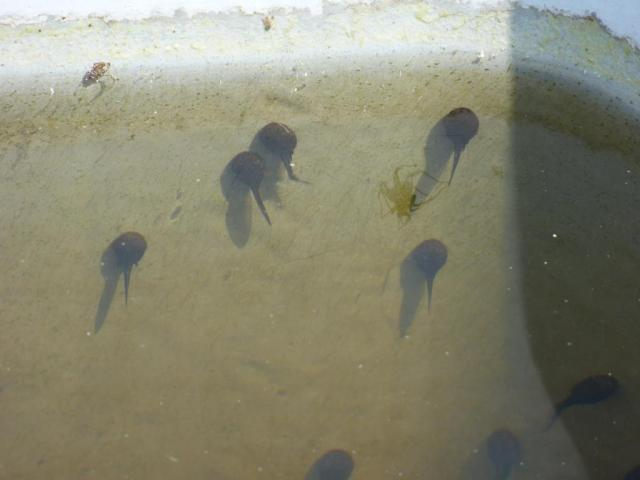 Tadpoles- just starting to grow back legs