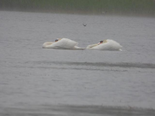 Displaying male swans