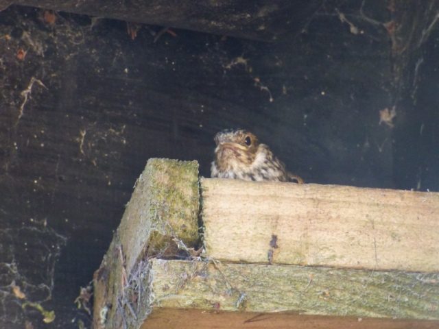 Looking out on the world- the flycatchers are almost ready to fledge
