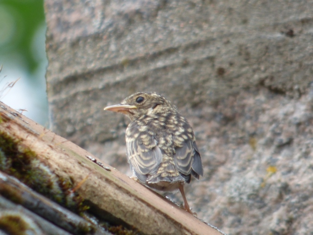 Into the big, wide world - on the roof after fledging