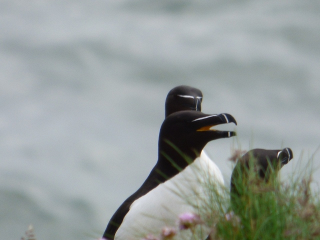 "Razorbills have a surprisingly yellow gape when they open their beaks to ""arrrrrrrrr"" at one another"