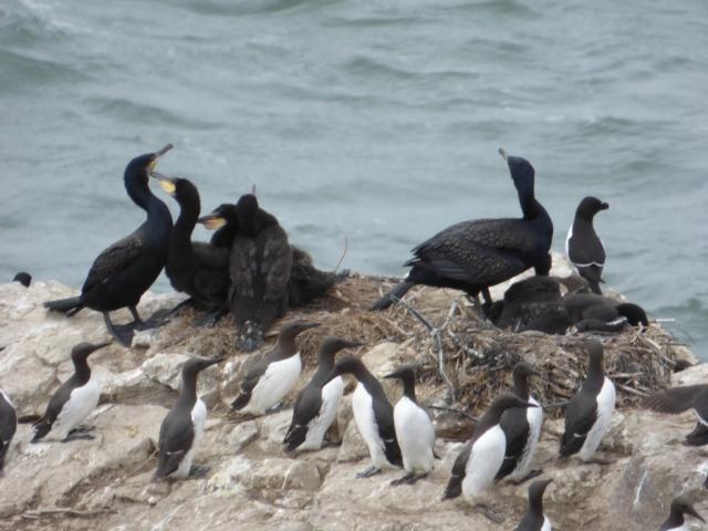 Cormorants, guillemots and a razorbill