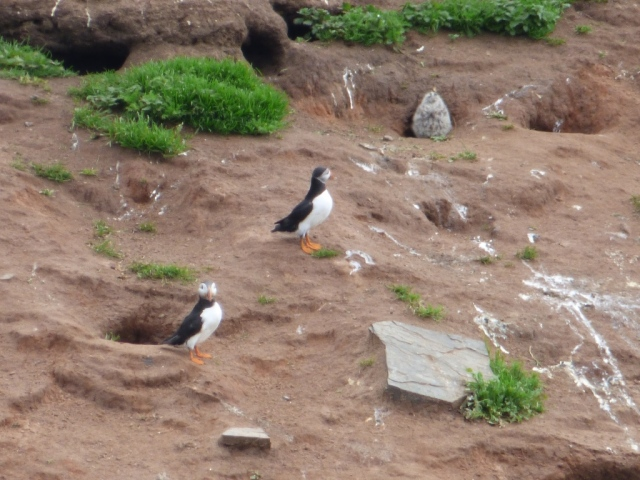 """Puffins on the """"Blind Man"""""""