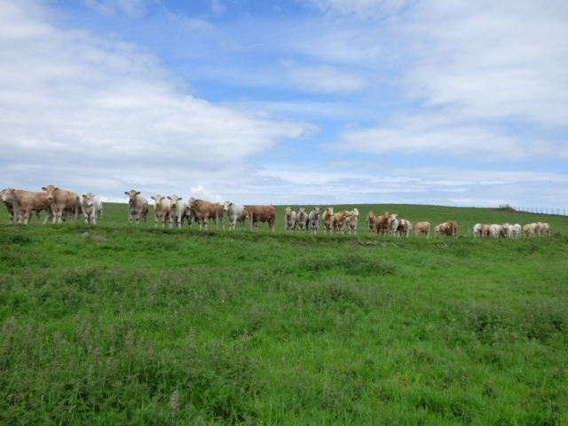 Doing the monitoring was the most interesting thing the cows had seen all week!