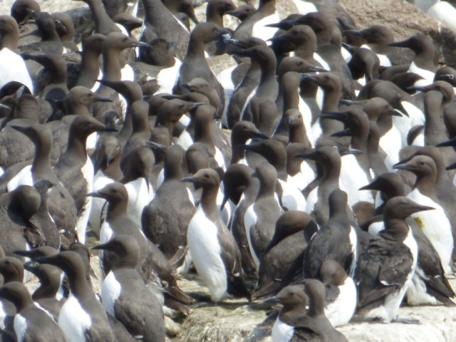 Can you spot the chick? And can you see how many bridled guillemots are in the picture?