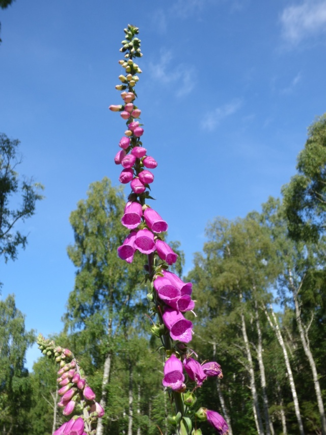 The foxgloves are at the height of their flowering and growth just now.