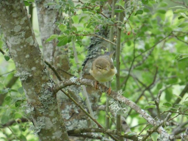 Young willow warbler.