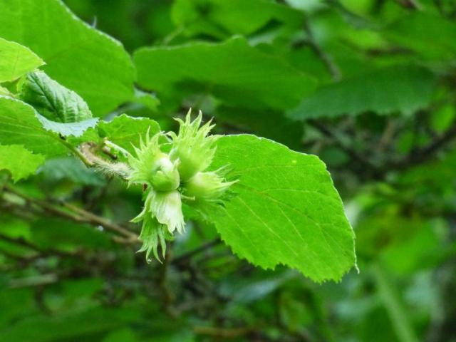 The hazelnuts are forming