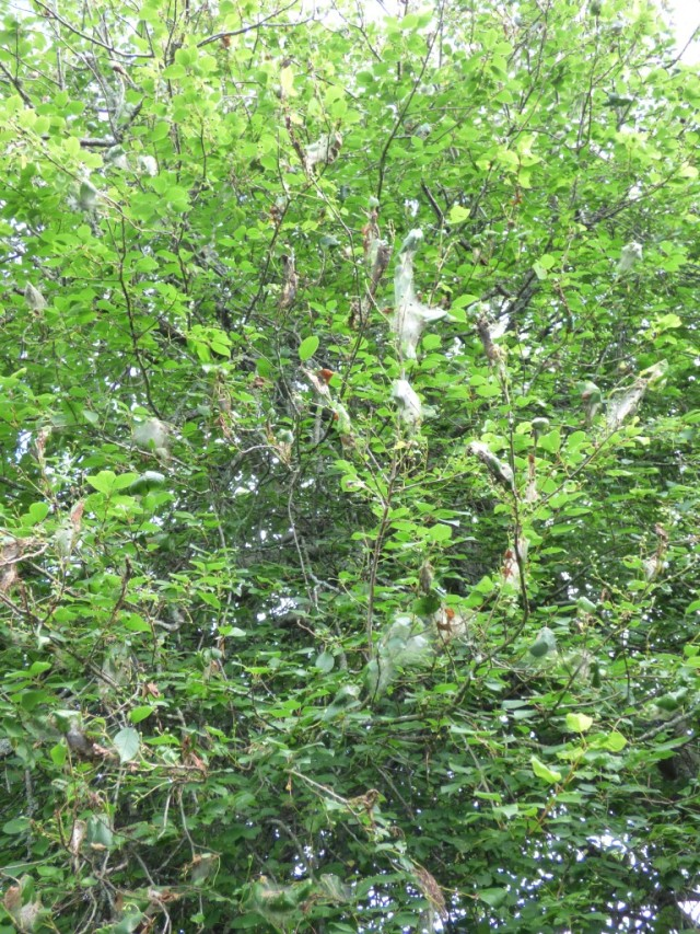 Bird cherry with lots of ermine moth webs