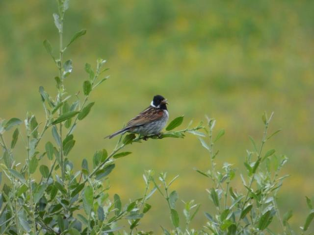 Male reed bunting with a gobful of grub.