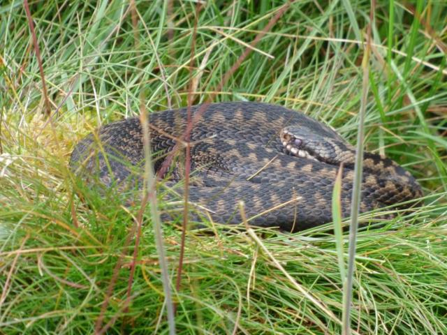 Adder coming up for mid-summer skin-shed.