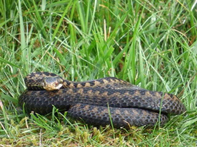 The adder was in the same place but seems to have shed its skin...we think it's the same snake.