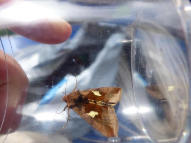 Gold spangle moth.