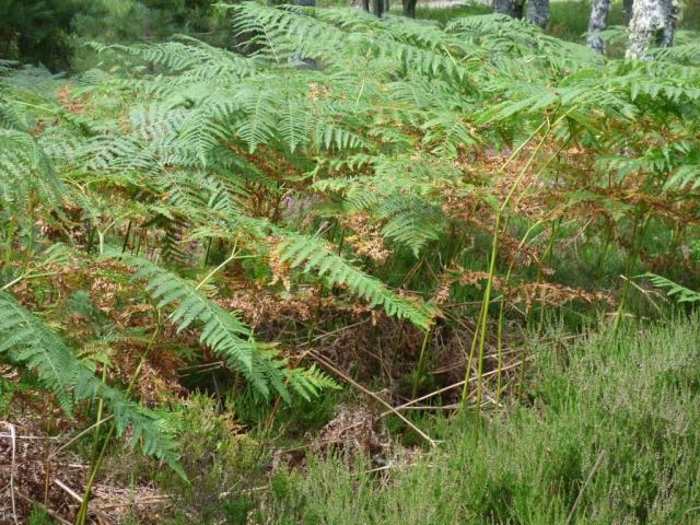 The bracken is just starting to go brown