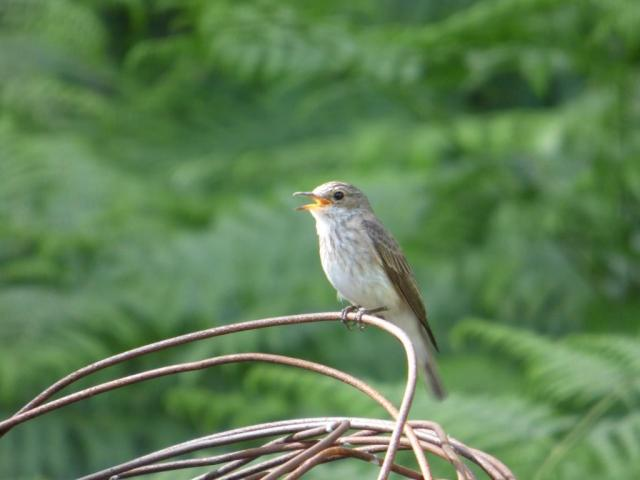 The spotted flycatcher is alarm calling constantly