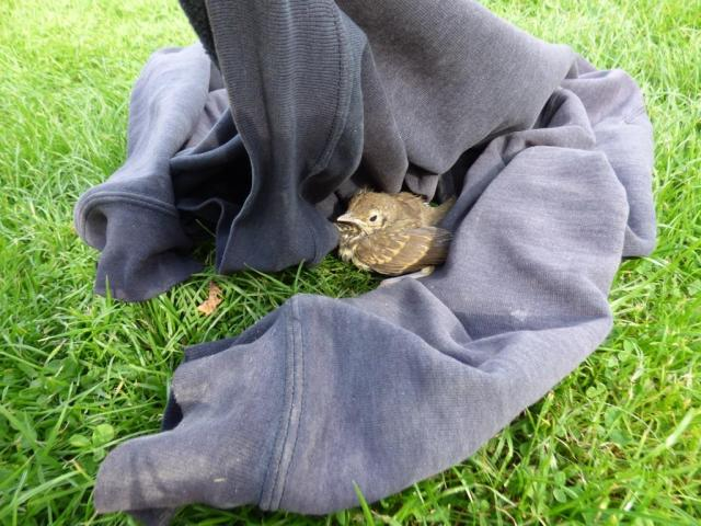 Evicting baby song thrush from the visitor centre with aid of a jumper.