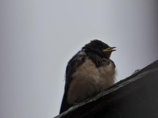 The first fledged swallow