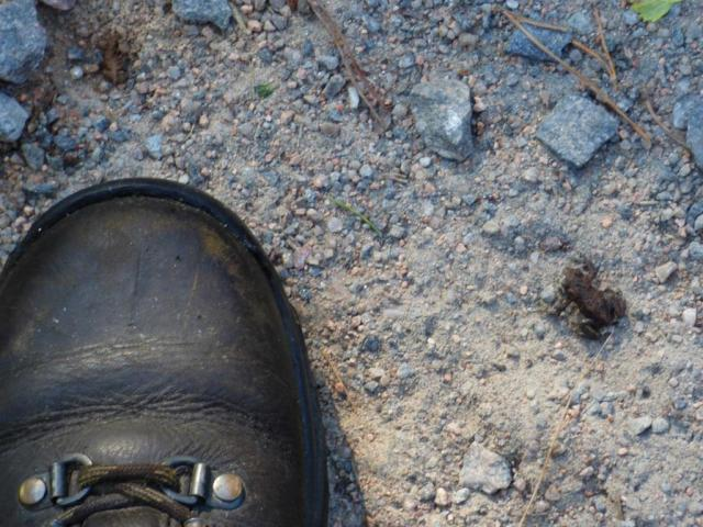 Tiny toadlet with my size 5's for scale