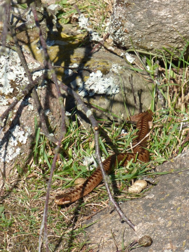 A young adder, less than 3 years old. The sticks are a lot thinner than a pencil, for scale.