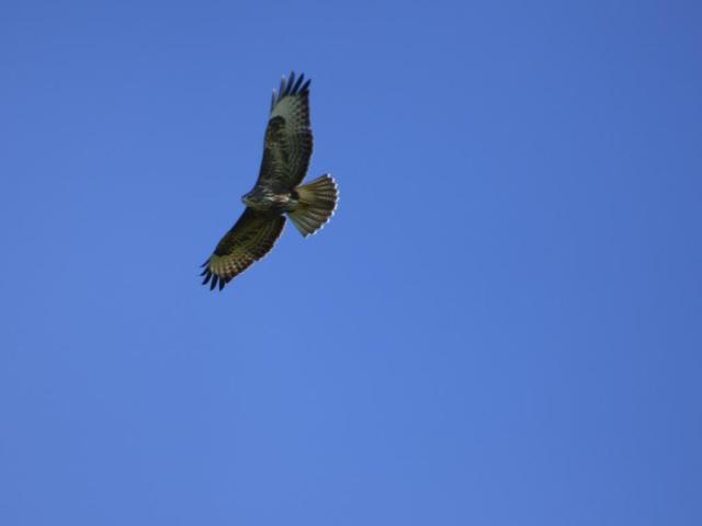 There are lots of young buzzards soaring over the reserve just now